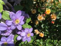 purple and peach flowers
